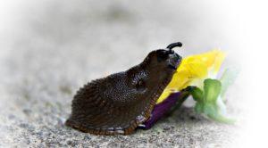 Bark Mulch Suppliers Cambridge - a slug crawling on a flower